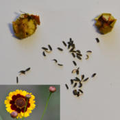 Location: My studio in Welland, Niagara Region, Ontario, CanadaDate: 2015-09-11Seed, Bloom and and pods