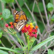 Location: Daytona Beach, FloridaDate: 2014-09-19#Pollination  Monarch Butterfly at bloom