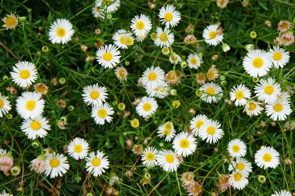 Photo of Erigeron karvinskianus 'Profusion' uploaded by skylark