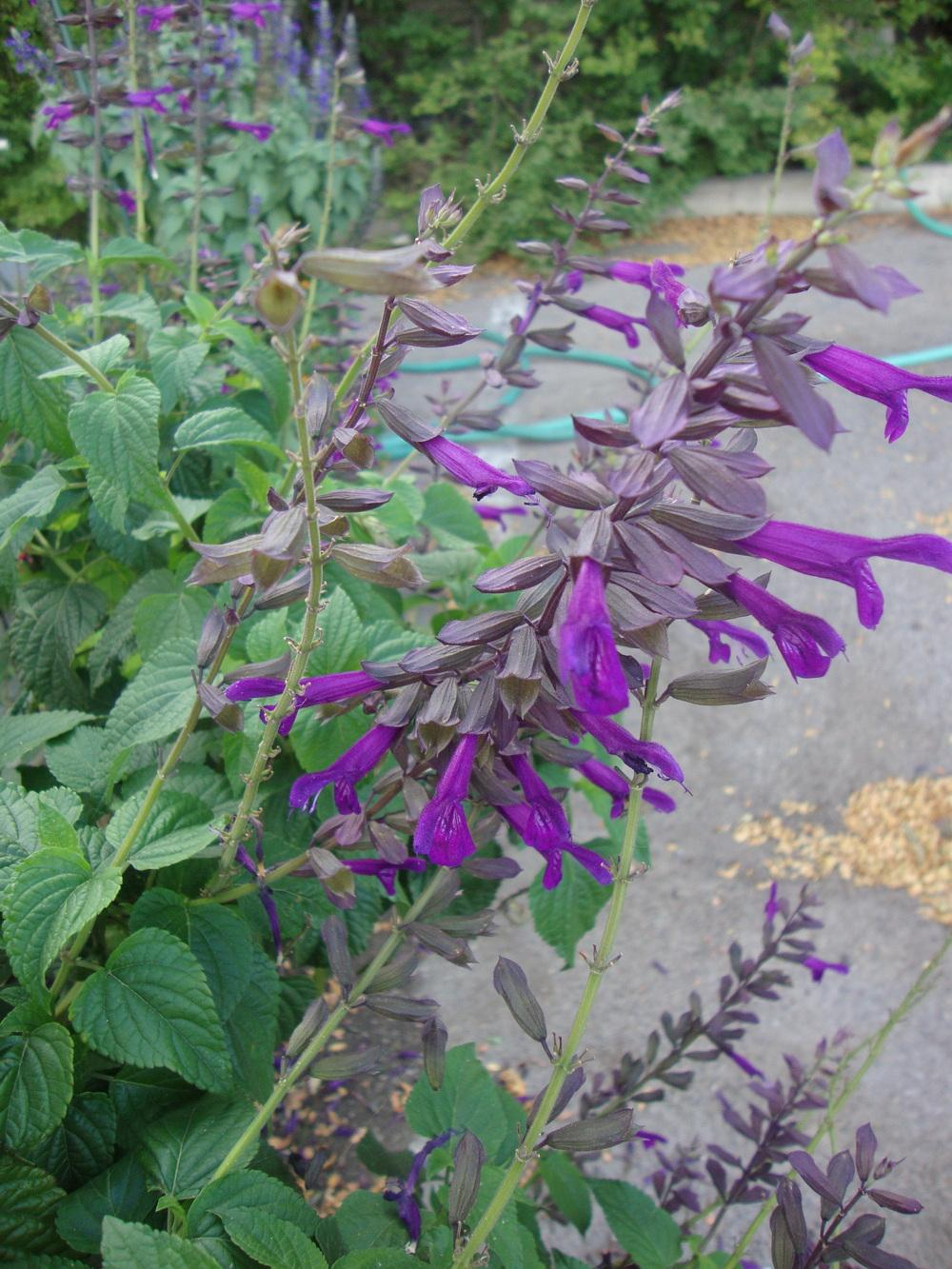 Photo of Salvias (Salvia) uploaded by Paul2032
