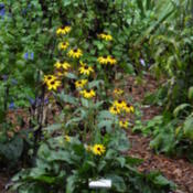 Location: Sheri's healing flower garden!Date: 2015-09-12This is a winner for Rudbekias!