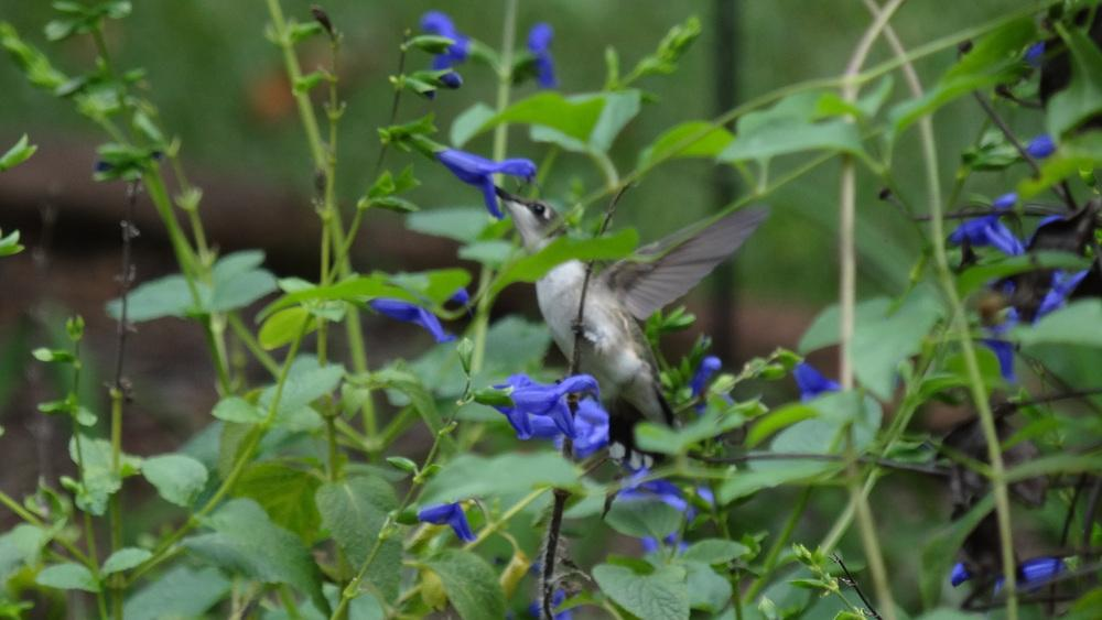 Photo of Salvia (Salvia coerulea 'Blue Ensign') uploaded by Sheridragonfly