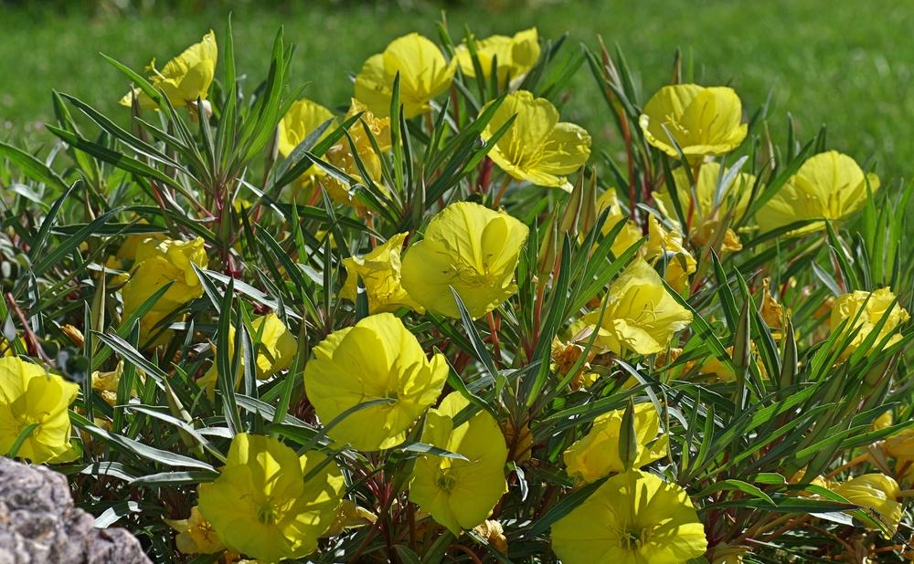 Photo of Evening Primrose (Oenothera macrocarpa) uploaded by dirtdorphins