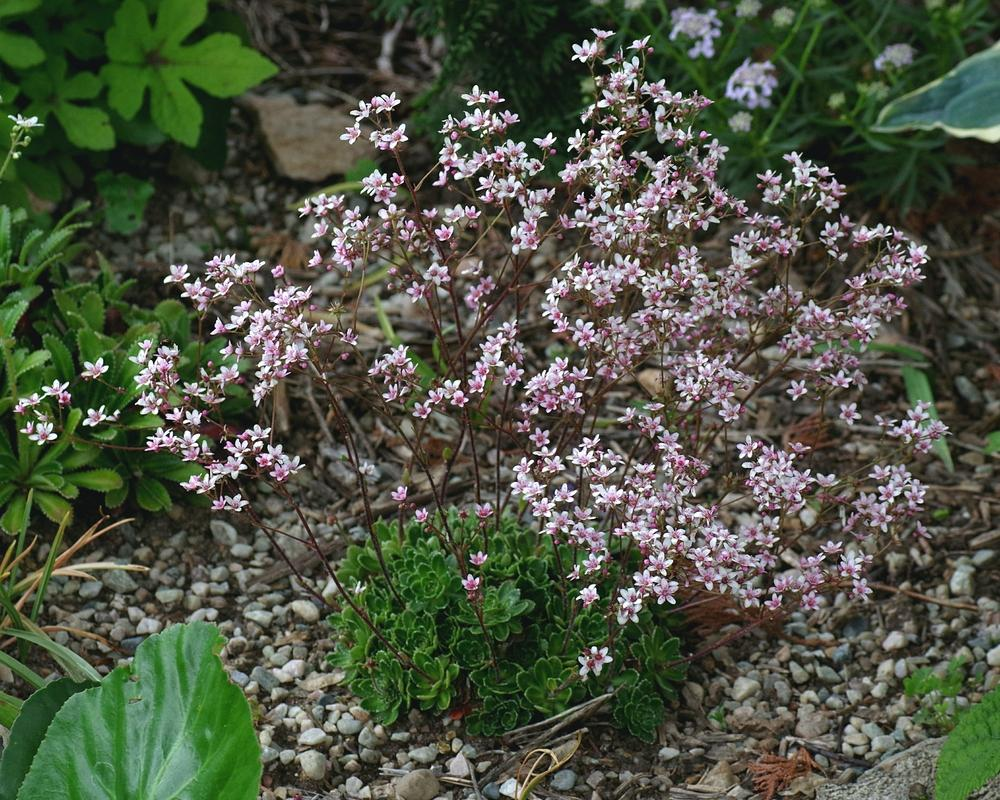 Photo of Encrusted Saxifrage (Saxifraga 'Winifred Bevington') uploaded by dirtdorphins