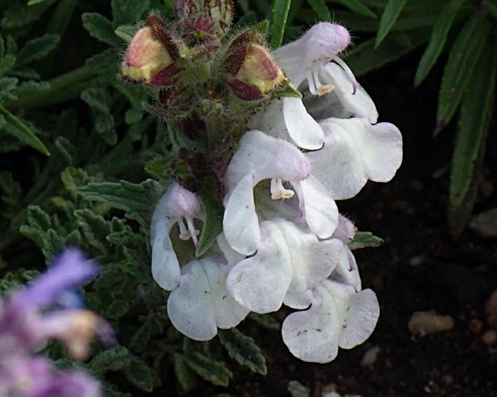 Photo of Anatolian Cushion Sage (Salvia caespitosa) uploaded by dirtdorphins