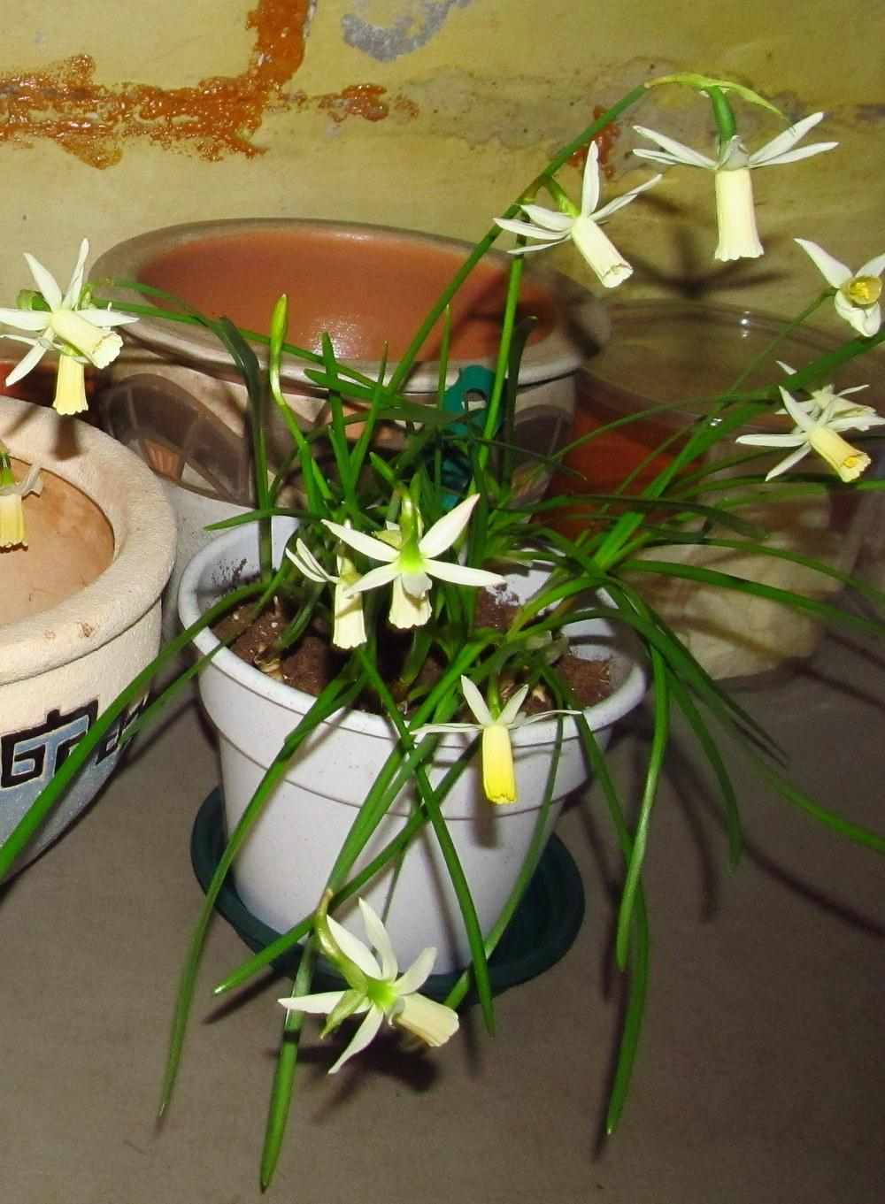 Photo of Cyclamineus Daffodil (Narcissus 'Snipe') uploaded by jmorth
