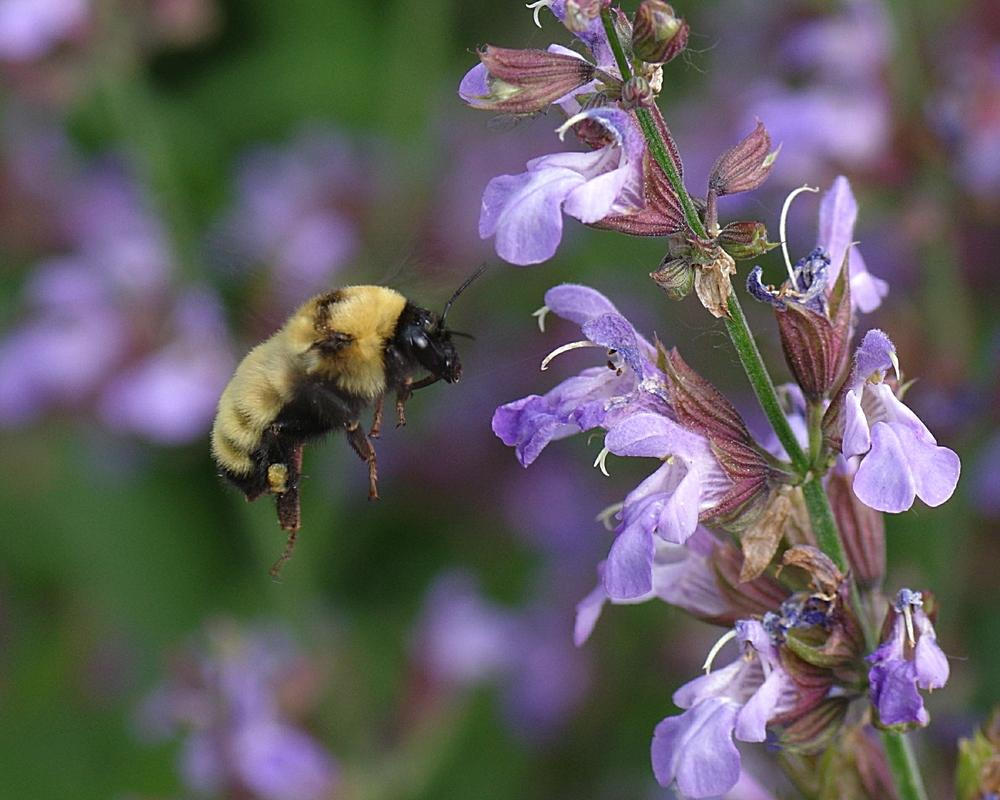 Photo of Culinary Sages (Salvia officinalis) uploaded by dirtdorphins