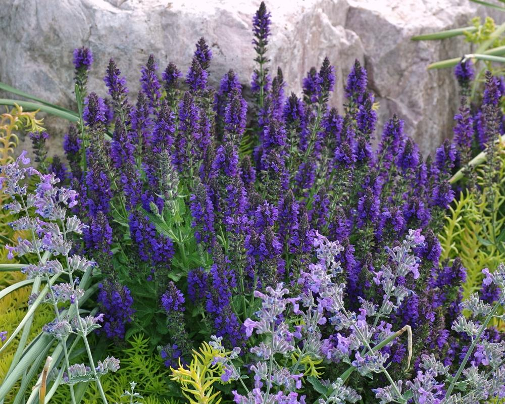 Photo of Sage (Salvia nemorosa Marcus®) uploaded by dirtdorphins