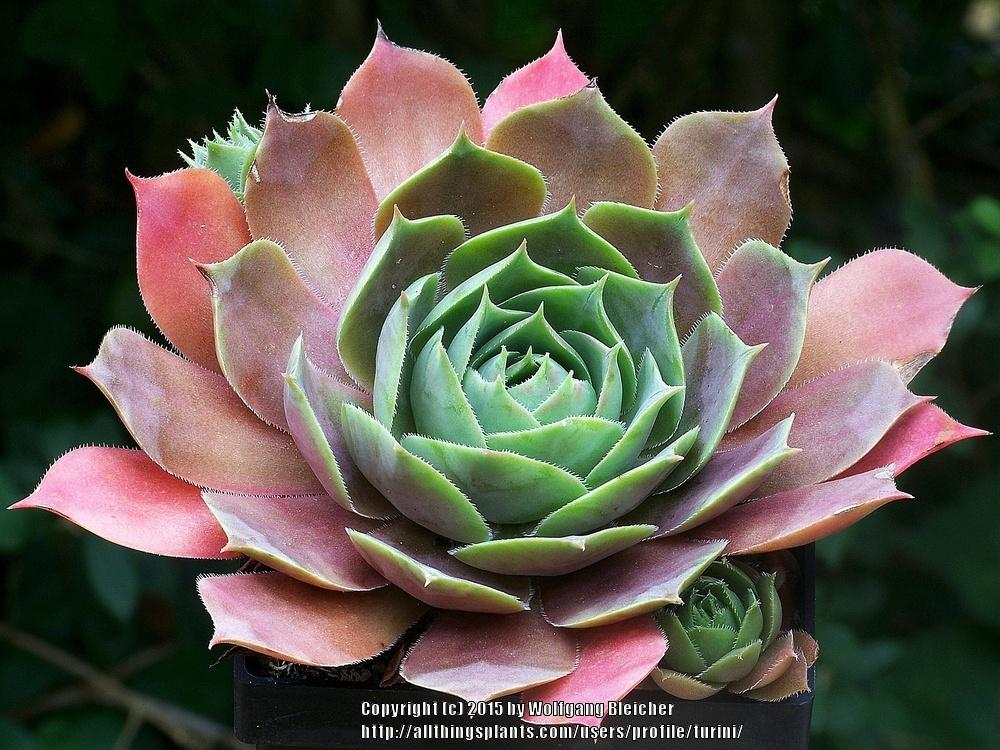 Photo of Hen and Chicks (Sempervivum 'Alesia') uploaded by turini