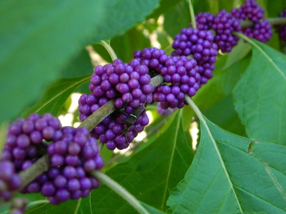 Beautyberries Plant Care And Collection Of Varieties Garden Org
