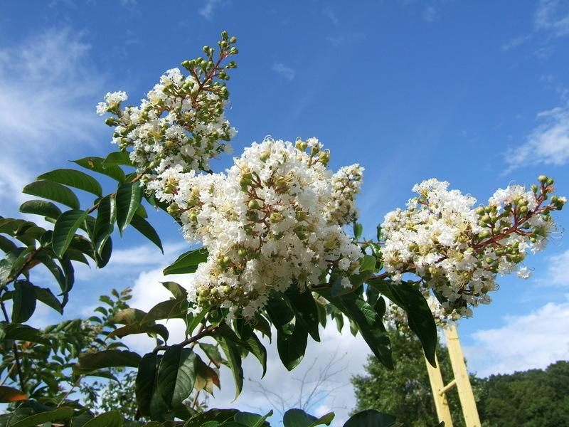 Photo of Crepe Myrtle (Lagerstroemia 'Natchez') uploaded by pirl