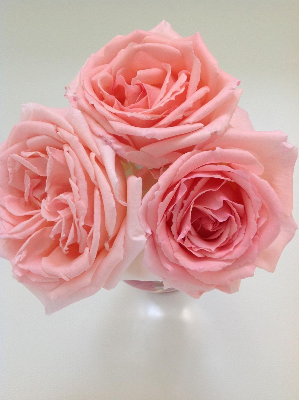 Photo of Rose (Rosa 'Pearly Gates') uploaded by Azgarden