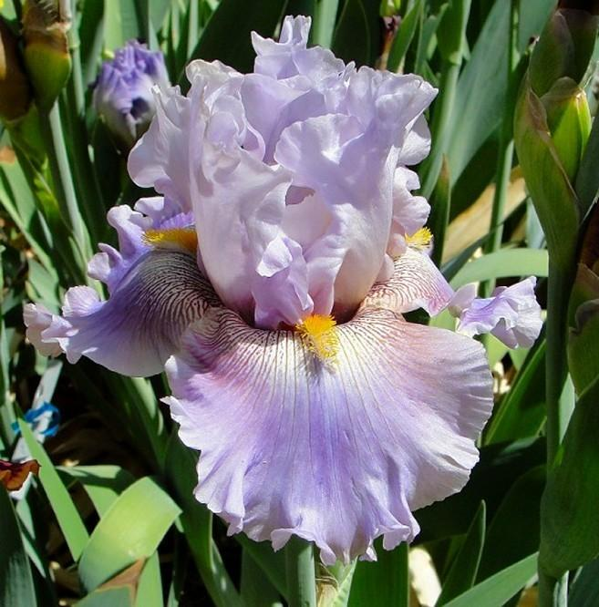Photo of Tall Bearded Iris (Iris 'Prismatic Crown') uploaded by Margiempv