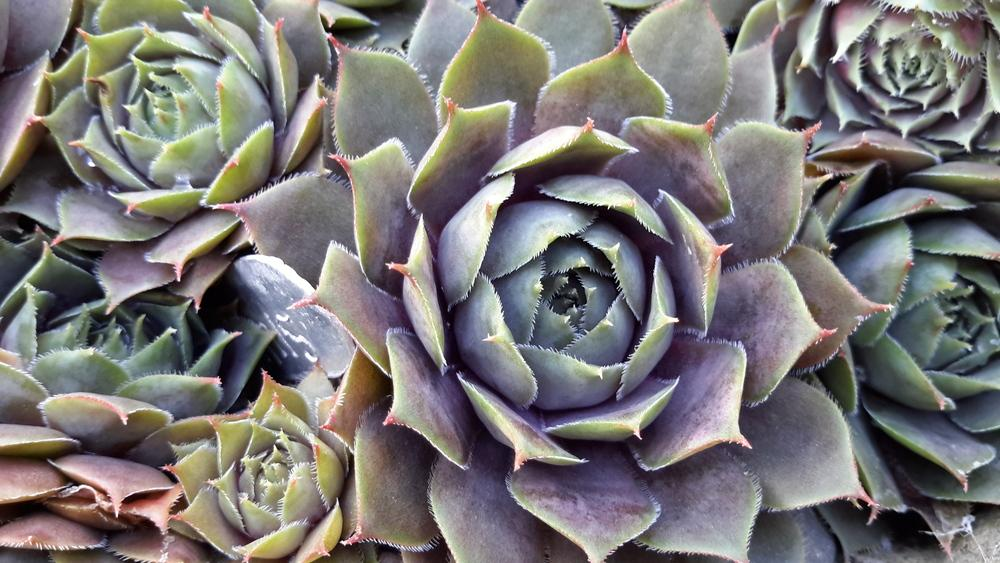 Photo of Hen and Chicks (Sempervivum 'Silverine') uploaded by Paddy