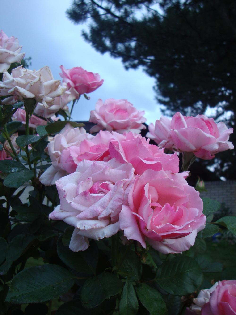 Photo of Rose (Rosa 'Billy Graham') uploaded by Paul2032
