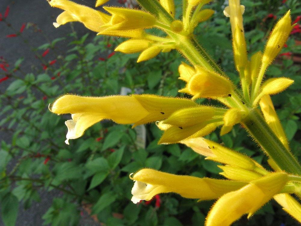 Photo of Forsythia Sage (Salvia madrensis 'Yellow Majesty') uploaded by robertduval14