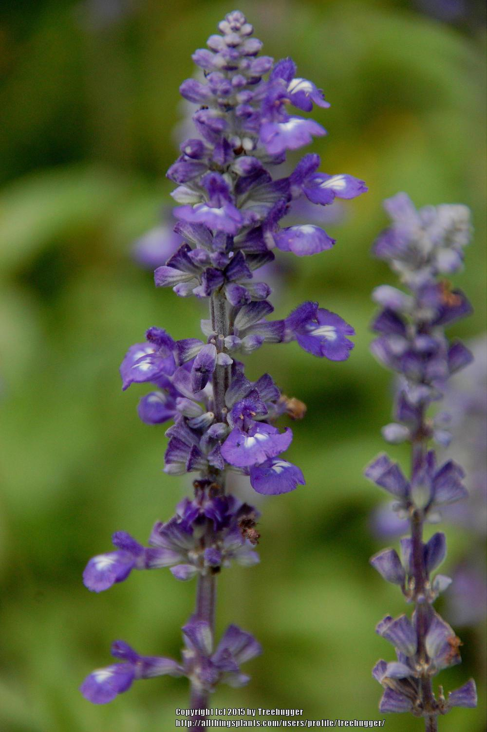 Photo of Mealy Cup Sage (Salvia farinacea 'Evolution') uploaded by treehugger