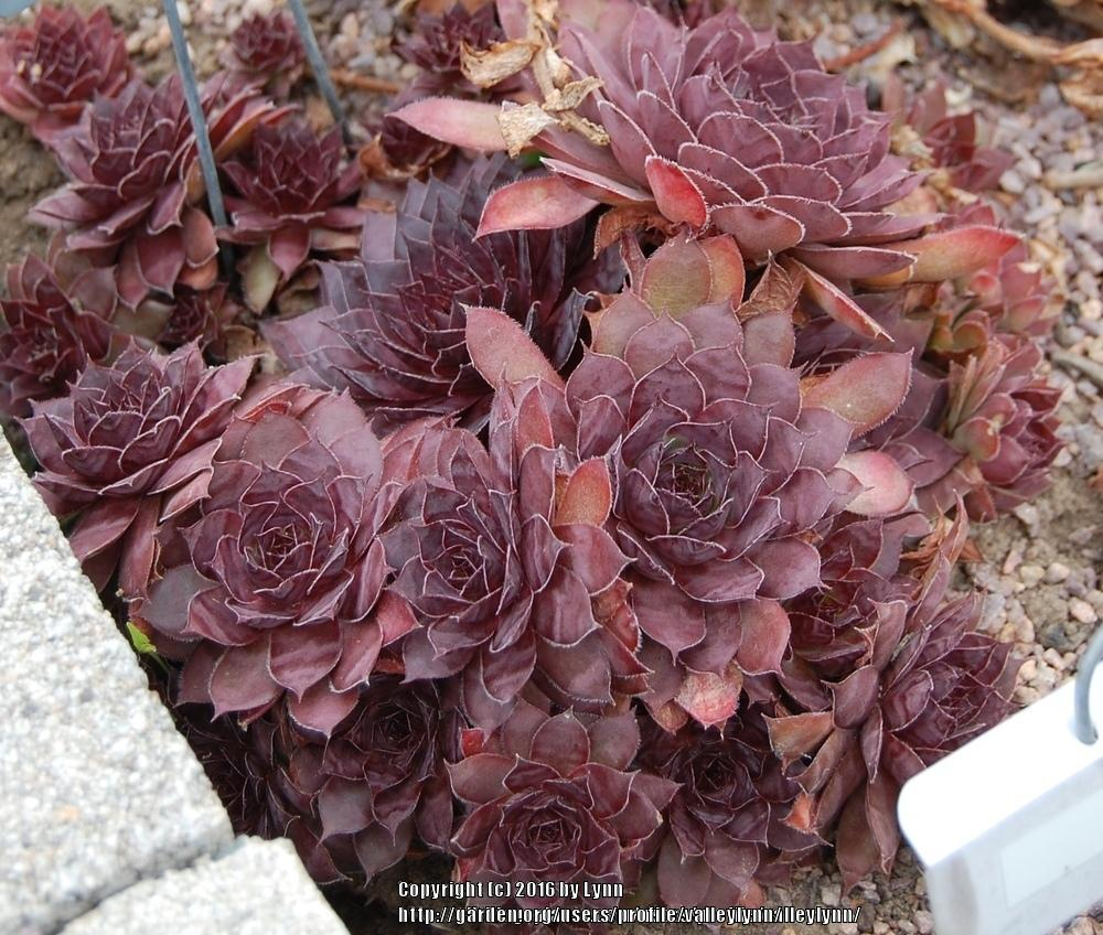 Photo of Hen and Chicks (Sempervivum 'Drachenblut') uploaded by valleylynn