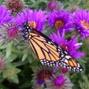 Location: MarylandDate: 2015-09-14Newly released monarch enjoys the aster while her wings dry