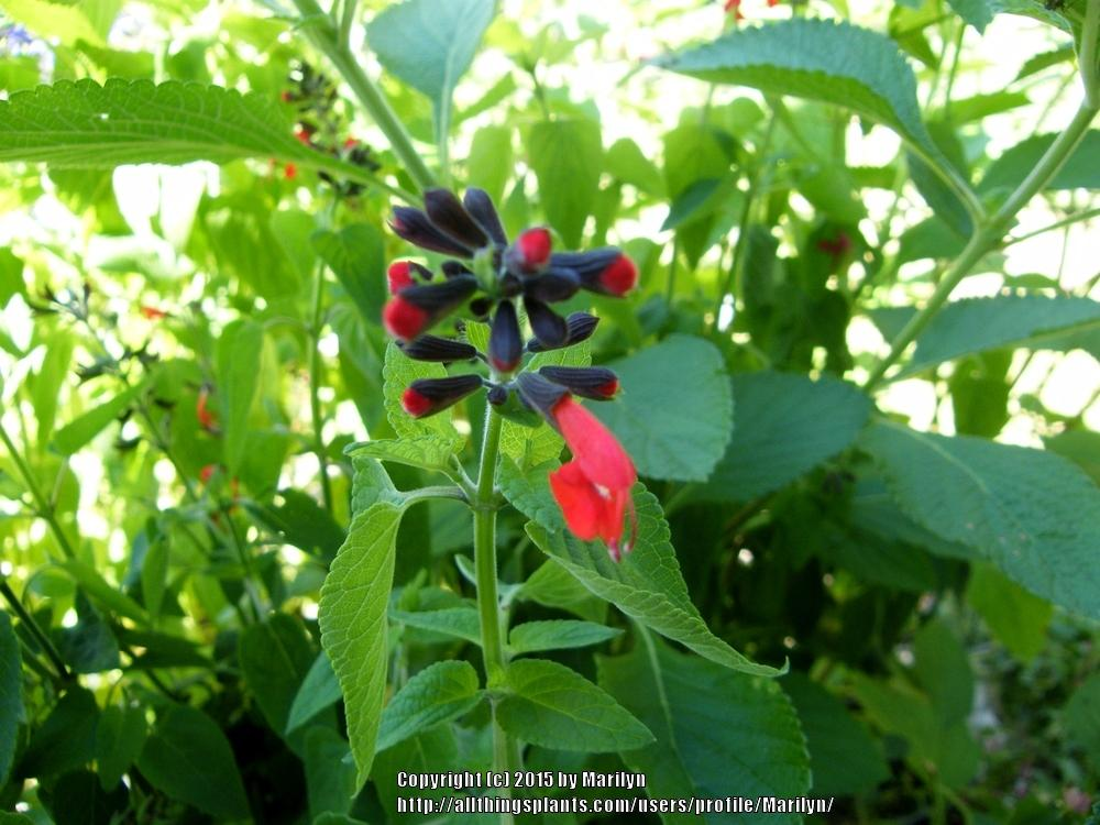 Photo of Texas Sage (Salvia coccinea 'Forest Fire') uploaded by Marilyn