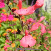 Location: My garden in Northern KYDate: 2015-09-15One of my favorite Salvias!