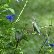 Location: sheri's healing flower garden zone 8bDate: 2015-09-14Stems are sturdy, hummingbird loves to sit on them!