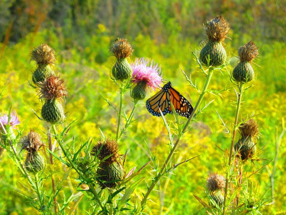 Photo of Field Thistle (Cirsium discolor) uploaded by jmorth
