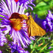 Location: central IllinoisDate: 9-22-11BF - Skippers