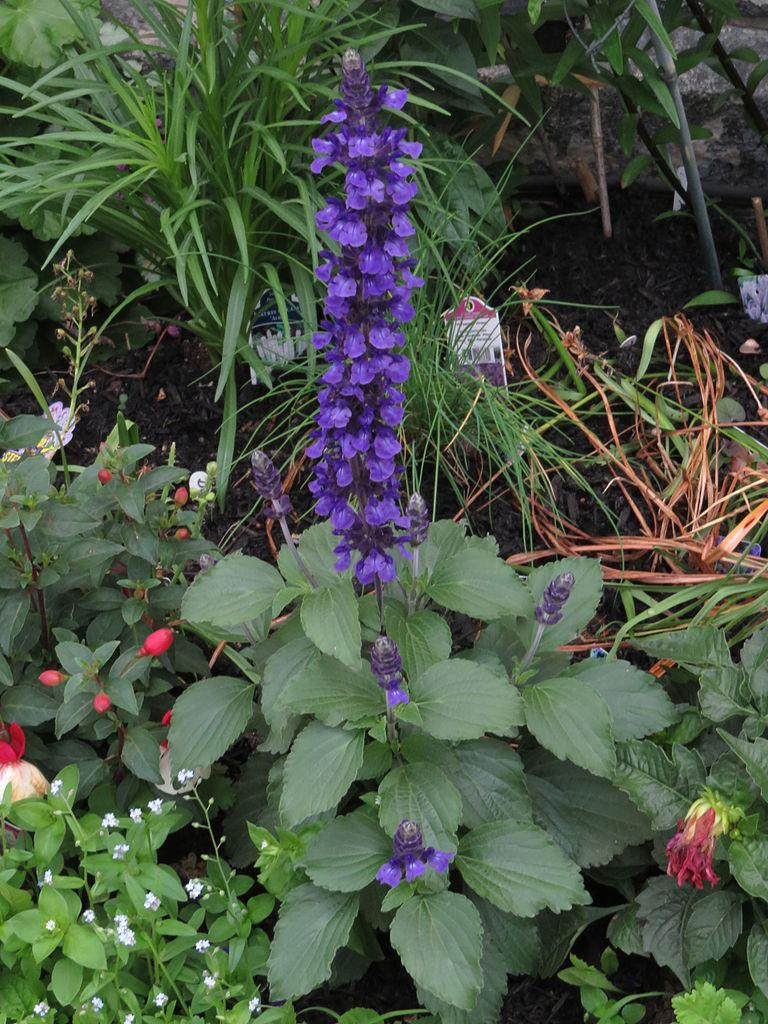 photo of the entire plant of sage  salvia playin u0026 39  the blues u2122  posted by robertduval14