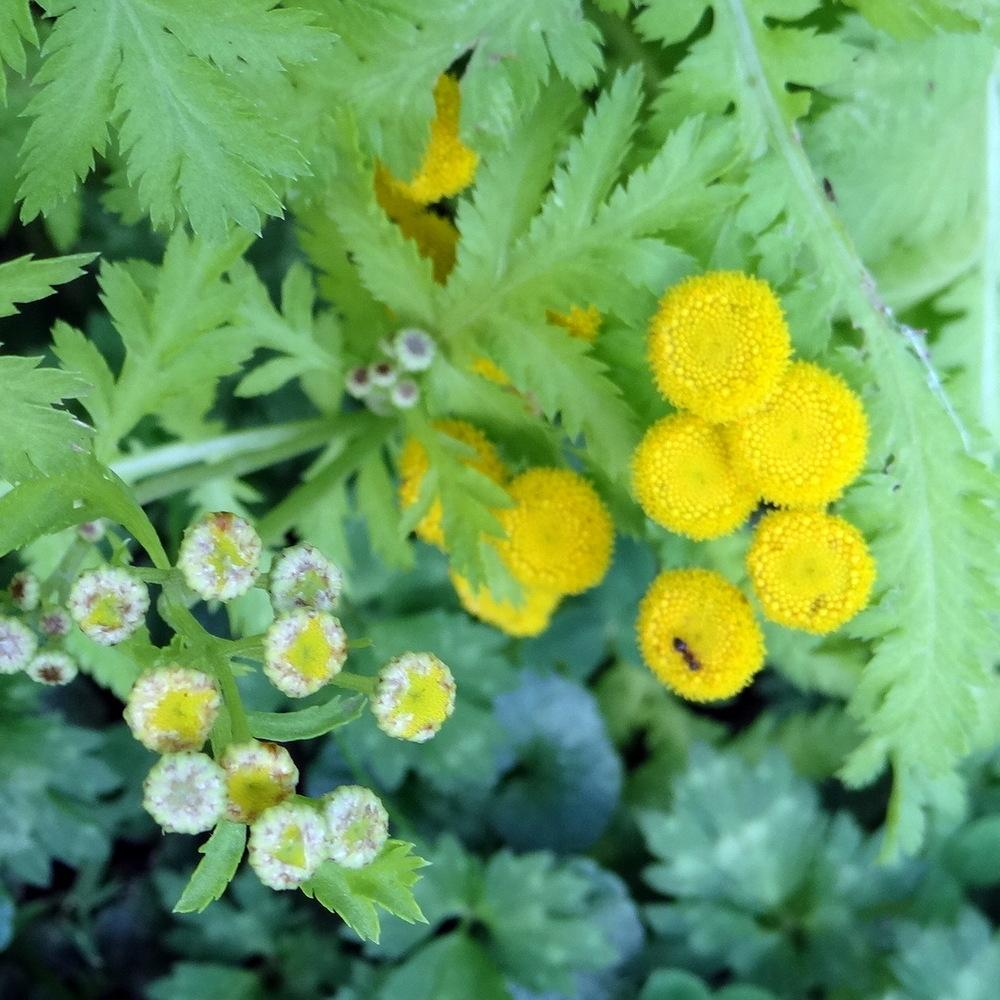 Photo of Gold Leaf Tansy (Tanacetum vulgare 'Isla Gold') uploaded by stilldew