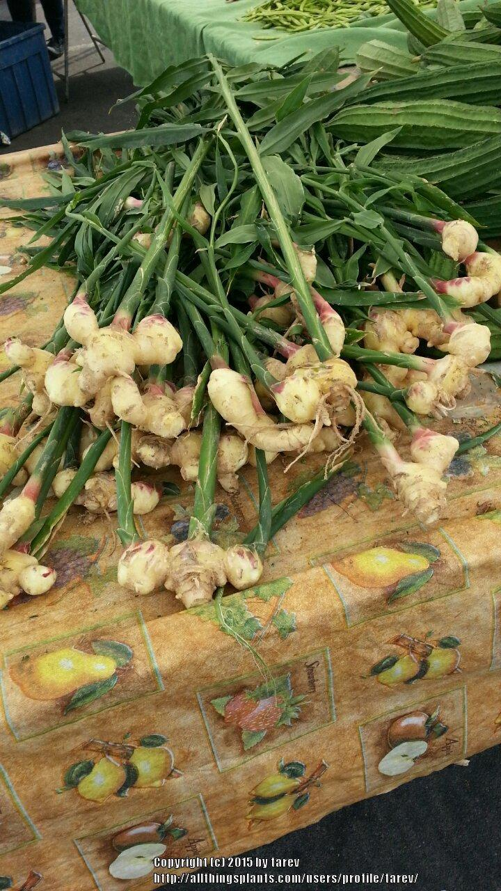 Photo of Common Ginger (Zingiber officinale) uploaded by tarev