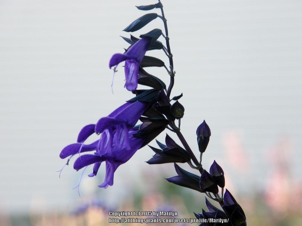 Photo of Salvia 'Amistad' uploaded by Marilyn