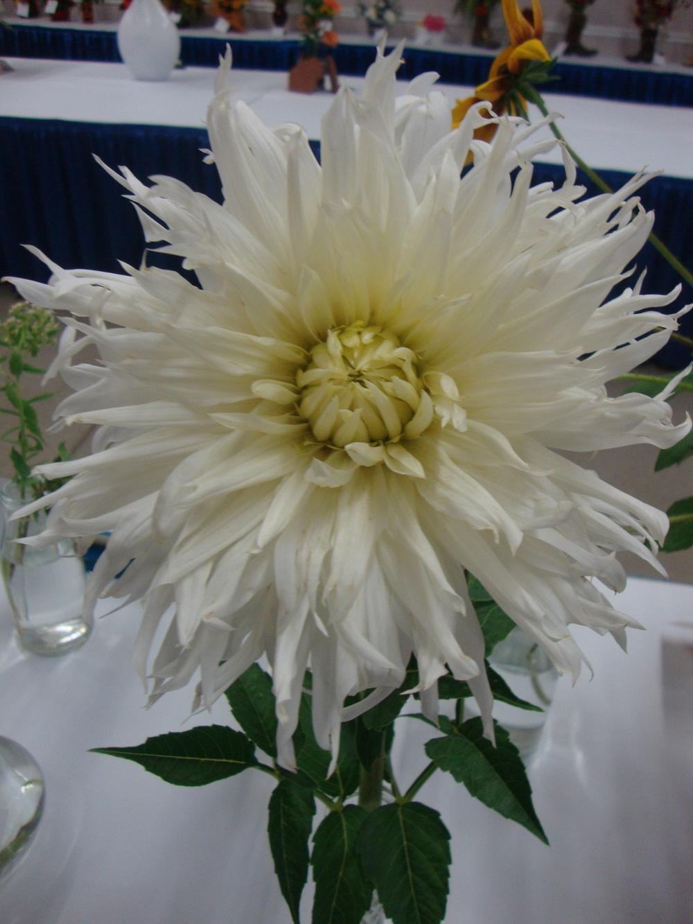 Photo of Dahlia 'Hy Mom' uploaded by Paul2032