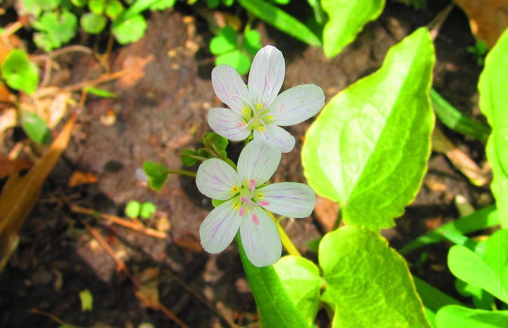 Photo of Spring Beauty (Claytonia virginica) uploaded by jmorth