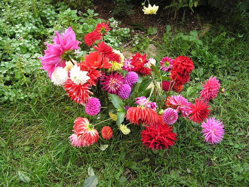Photo of Dahlias (Dahlia) uploaded by mandolls
