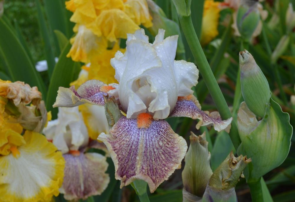 Photo of Tall Bearded Iris (Iris 'Marilyn Naylor') uploaded by KentPfeiffer