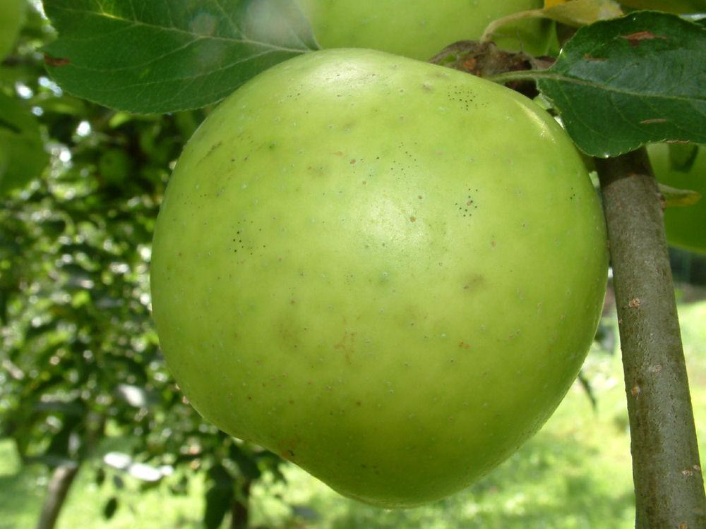 Photo of Apple (Malus pumila 'Yankee Sweet') uploaded by robertduval14