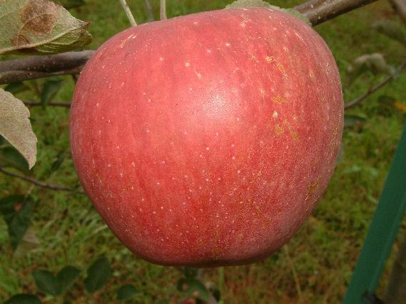 Photo of Apple (Malus pumila 'Park's Pippin') uploaded by robertduval14