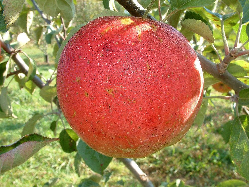 Photo of Apple (Malus pumila 'Abram') uploaded by robertduval14