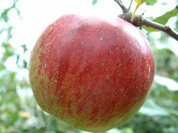 Photo of Apple (Malus pumila 'Ben Davis') uploaded by robertduval14