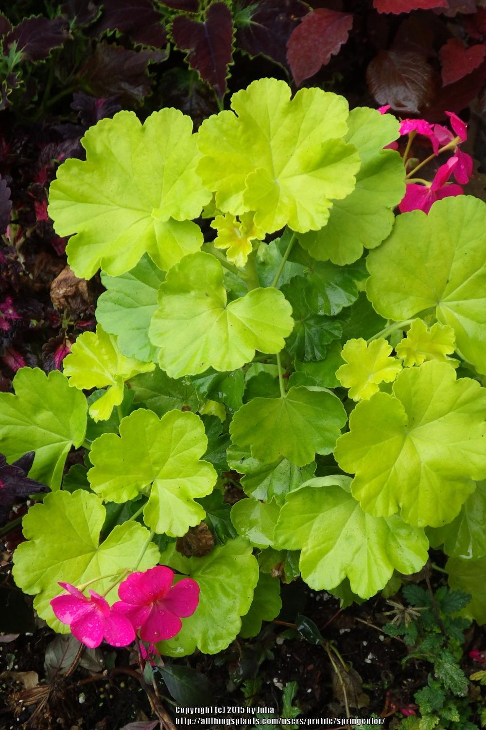 photo of the entire plant of fish geranium pelargonium x