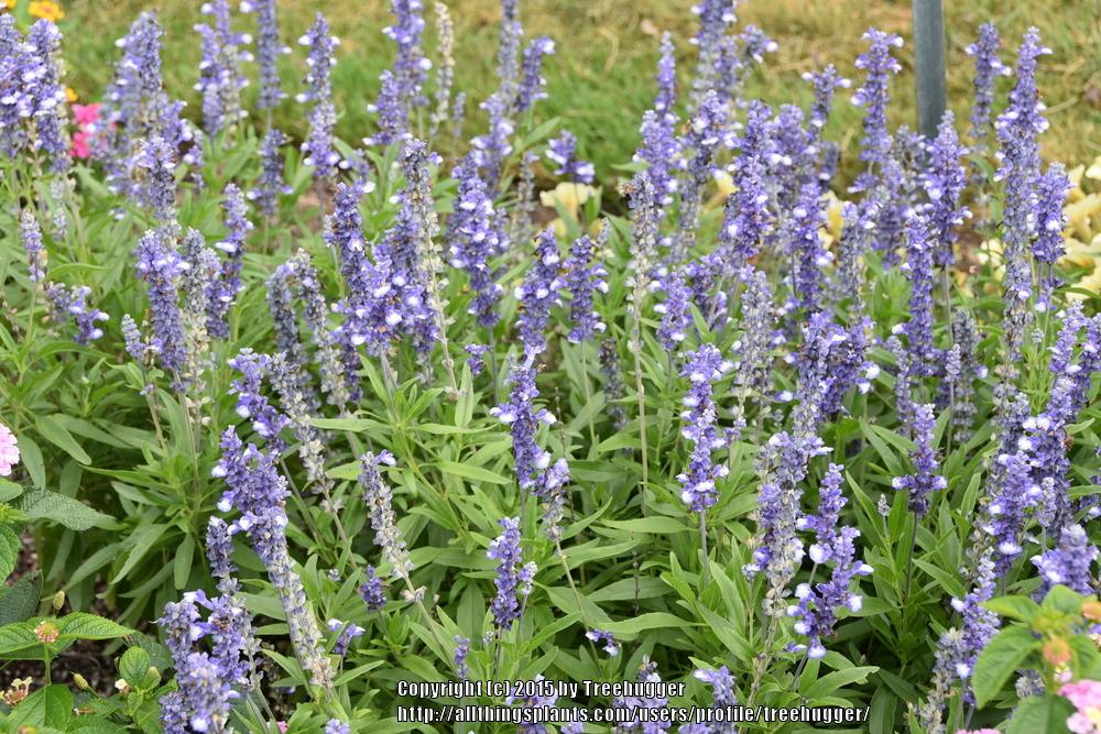 Photo of Mealy Cup Sage (Salvia farinacea Cathedral® Shining Seas) uploaded by treehugger