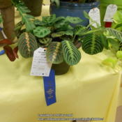 Location: Austin ,TXDate: JuneThree varieties, won first prize and green thumb (95 or more poin