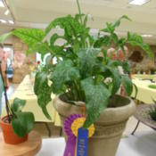 Location: Austin ,TXDate: June1st Place, Green Thumb, Best of Section, Queen of Show