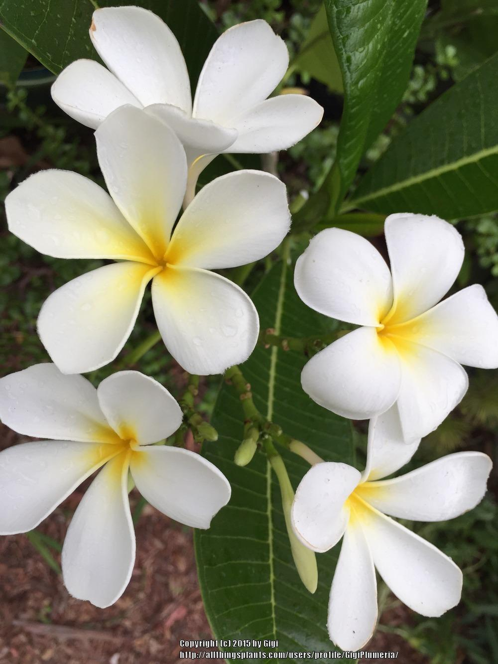 Plumerias plant care and collection of varieties garden add or edit informational text about this plant izmirmasajfo