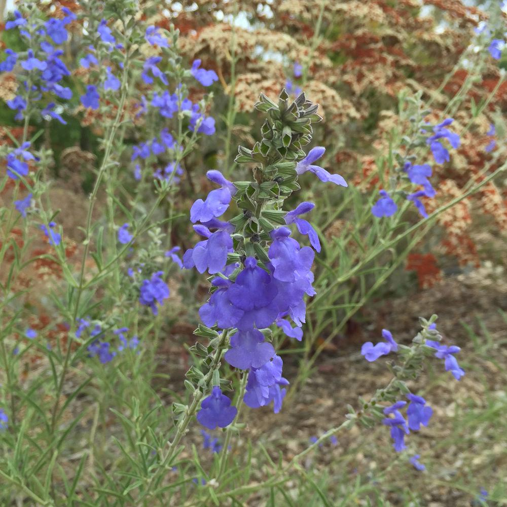 Photo of Blue Sage (Salvia azurea) uploaded by HamiltonSquare