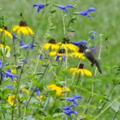 Location: Sheri's healing flower garden zone 8bDate: 2015-09-19 Blue ensign salvia is their very favorite treat!