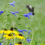 Location: Sheri's healing flower garden 8bDate: 2015-09-19Blue Ensign gets a Hummingbird's attention!