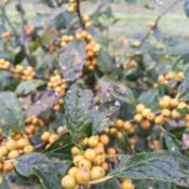 Location: Medina, TNThe yellow berries of Chrysocarpa in September.