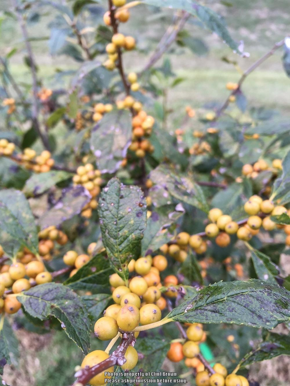 Photo of Winterberry Holly (Ilex verticillata 'Chrysocarpa') uploaded by clintbrown